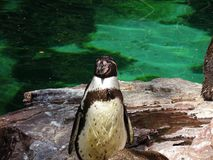 Penguin close up from head in Augsburger zoo in germany royalty free stock images