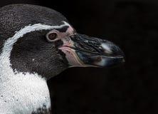 Penguin Closeup Stock Image