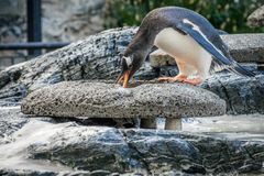 Penguin collecting little stones Stock Photography
