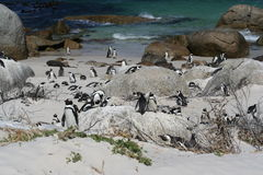 Penguin Colony. Next to a blue-green sea royalty free stock images