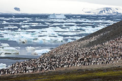 Penguin colony in Antarctica. Adelie penguin colony in Antarctica stock images