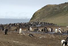 Penguin colony in Antarctica Royalty Free Stock Photography