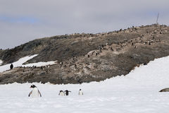 Penguin colony in Antarctica Royalty Free Stock Image