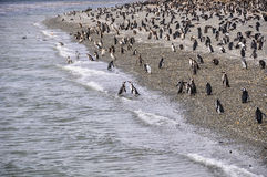 Penguin Colony, Beagle Channel, Ushuaia, Argentina Royalty Free Stock Image