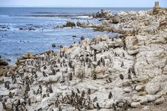 Penguins bettys bay south africa colony royalty free stock photo