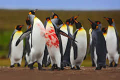 Penguin colony. Bloody fight in king penguin colony. Red blood on the penguin body. Action scene with penguins. Penguin colony in Stock Photos