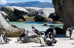 Penguin Colony Boulders Royalty Free Stock Photos