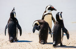 Penguin colony at False Bay in Simons Town. South Africa Stock Photography