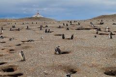 Penguin colony on Isla Magdalena island