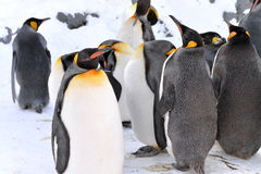 Penguin Colony. King Penguin Colony at the Asahiyama Zoo, Japan Stock Photography