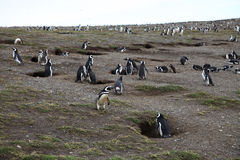 Penguin colony Stock Images