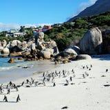 Penguin colony on the ocean beach near Capetown Stock Photo