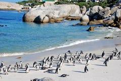 Penguin colony on the ocean beach near Capetown Stock Photography