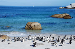 Penguin colony on the ocean beach near Capetown Stock Images
