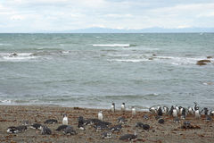 Penguin Colony at Punta Arenas Stock Photography