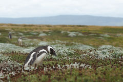 Penguin Colony at Punta Arenas Stock Images