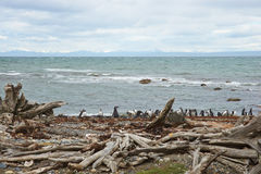 Penguin Colony at Punta Arenas Royalty Free Stock Images
