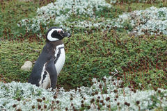 Penguin Colony at Punta Arenas Royalty Free Stock Photo