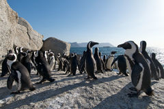 Penguin Colony Simonstown South Africa. Colony of Jackass penguins at Boulders Beach Stock Photography