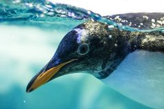Penguin coming to say hello Royalty Free Stock Photo