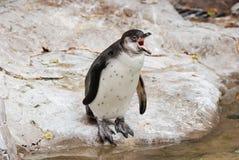 Penguin complaint. Juvenile hombolt penguin standing near the water vocalizing Stock Images