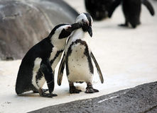 Penguin couple. Cute affectionate penguin couple at the zoo Stock Images