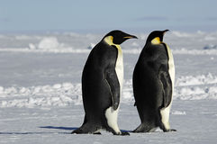 Penguin couple. Two emperor penguins standing in a beautiful Antarctic pack ice scenery Royalty Free Stock Photography