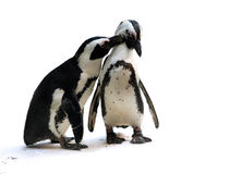 Penguin couple. Cute affectionate penguin couple isolated Royalty Free Stock Photo
