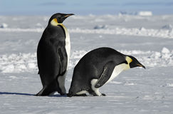 Penguin couple. Antarctic penguin pair in ice landscape Stock Photos
