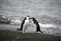 Penguin Couple. A Penguin Couple knuddling on the beach in Antarctica Stock Photos