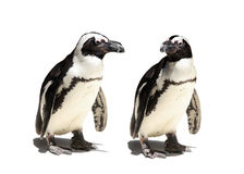 Penguin couple. A Penguin couple on a white background Royalty Free Stock Photo