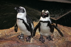 Penguin Couple. A beautiful artic penguin couple Royalty Free Stock Photography