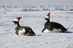 Penguin couple at Christmas day. Antarctic penguin couple at Christmas day Stock Photo