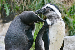 Penguin Couple. A cute couple of Magellanic Penguins Royalty Free Stock Image