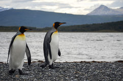 Penguin couple. King penguins walking side by side Stock Image