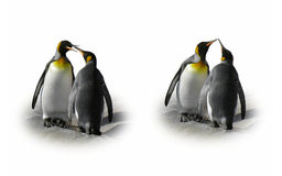 Penguin couple in love - flirt, kiss, isolated. Two cute penguins seem to talk, flirt and kiss Stock Image