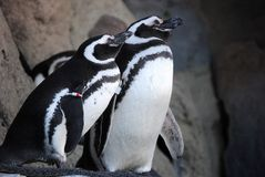 Penguin Couple. A pair of penguins rest on the rocks after a vigorous swim Stock Photography