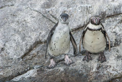 Penguin couple at the rock. By the sea Royalty Free Stock Photography