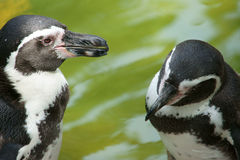 Penguin couple's talking. Stock Photos