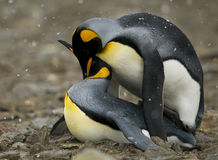 Penguin Couple sharing an Intimate Moment. A King Penguin couple shares an intimate moment in a soft snow storm Royalty Free Stock Photos