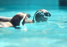 Penguin couple swimming - Beijing royalty free stock photography