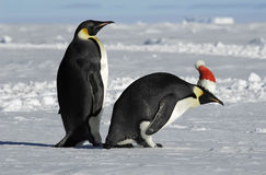 Penguin couple on Xmas. Antarctic penguin couple on Xmas Royalty Free Stock Photo