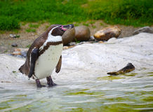Penguin Royalty Free Stock Photography