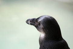 Penguin Detail Royalty Free Stock Image