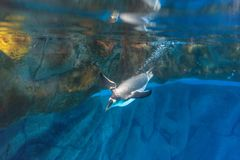 Ocean park Penguin dives under water swimming bright. A penguin dives into the blue waters breaking the surface and leaving a trail of bubbles behind stock photos
