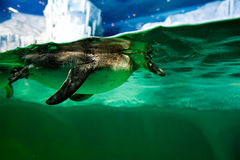 Penguin diving. Under the water in the aquarium swimming penguin Royalty Free Stock Images