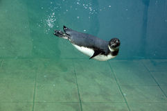 Penguin diving in the blue water of an aquarium Stock Photo