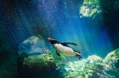 Penguin diving. Penguin hunting for fish underwater Royalty Free Stock Photo
