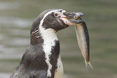 Penguin is eating a large fish Stock Photos