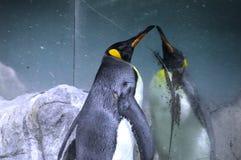 Penguin Enjoying Image Reflection Stock Images